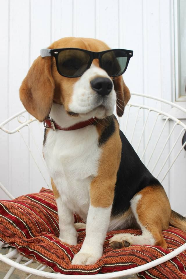 These 10 beagles will make you a better person beagle sunglasses cute voltagebd Gallery