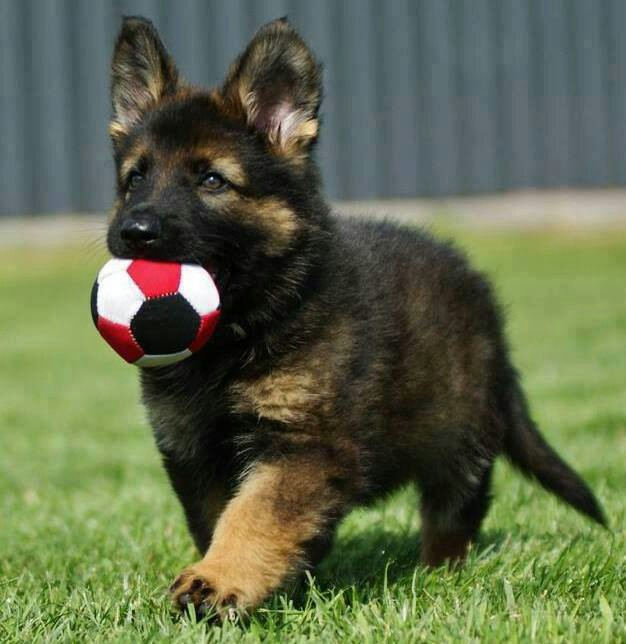 12 Important Reasons To Never Own German Shepherds