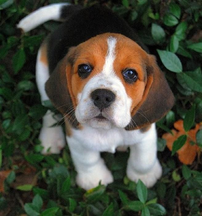 These 10 beagles will make you a better person todays cuteness for the dog lovers beagle puppy voltagebd Image collections