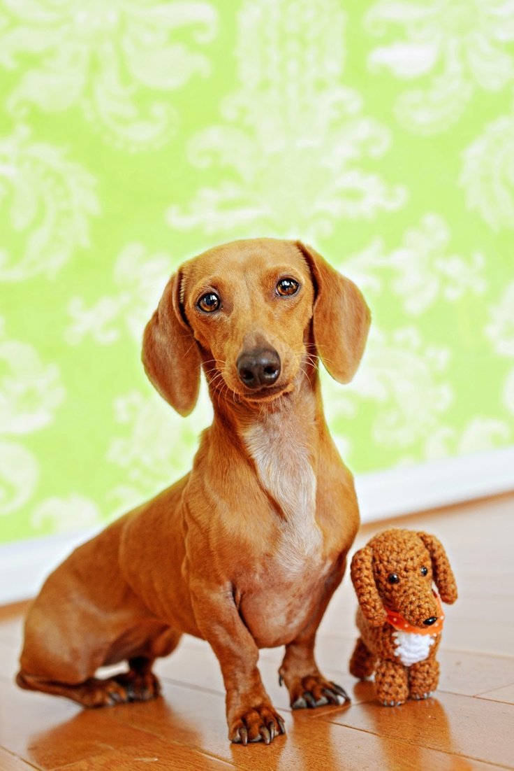 12 reasons why you should never own dachshunds