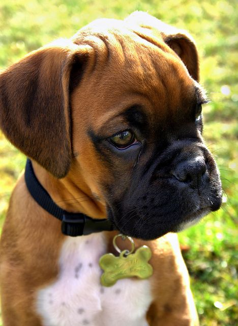 cute dog boxer