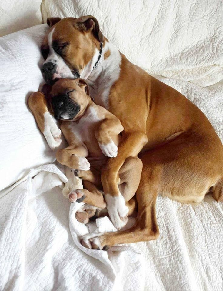cute dogs boxer sleep