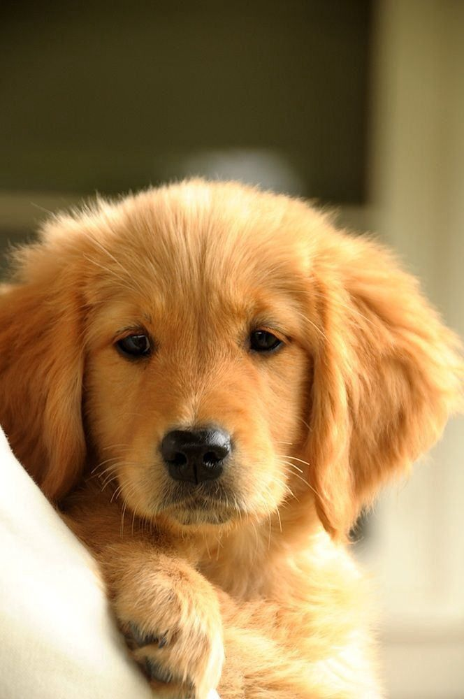 10 Reasons Why You Should Never Own Golden Retrievers