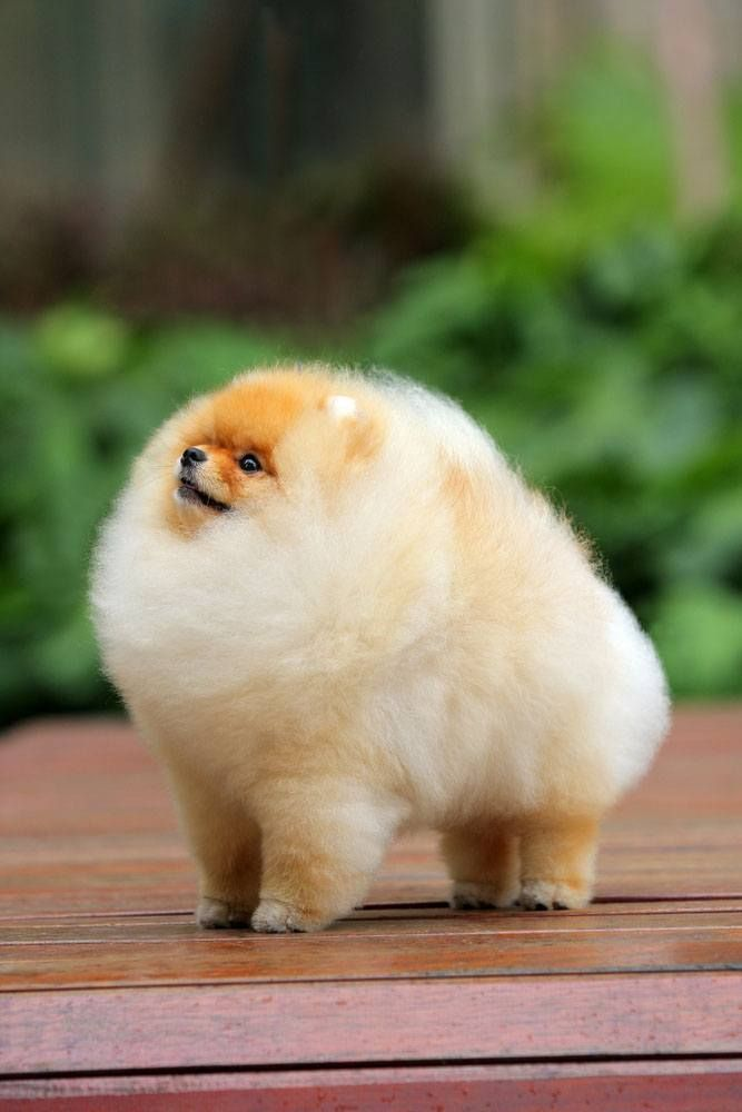 Fat Toy Dogs : Reasons why you should never own pomeranians