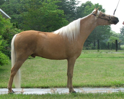 What is a Gelding?