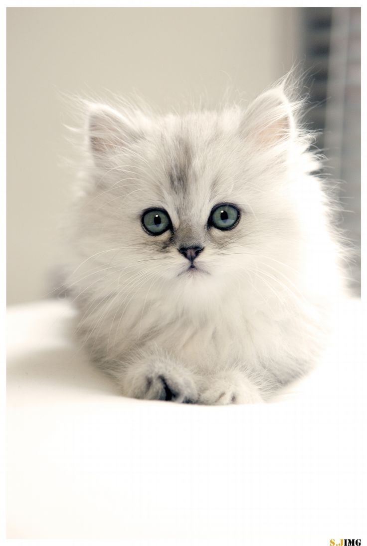 12 Reasons Why You Should Never Own Persian Cats