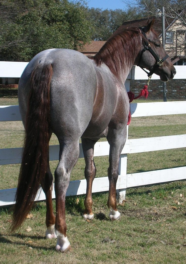 horse horses colors roan quarter rare chestnut liver pretty most mustang gorgeous silver appaloosa factor wow beauty grulla different he
