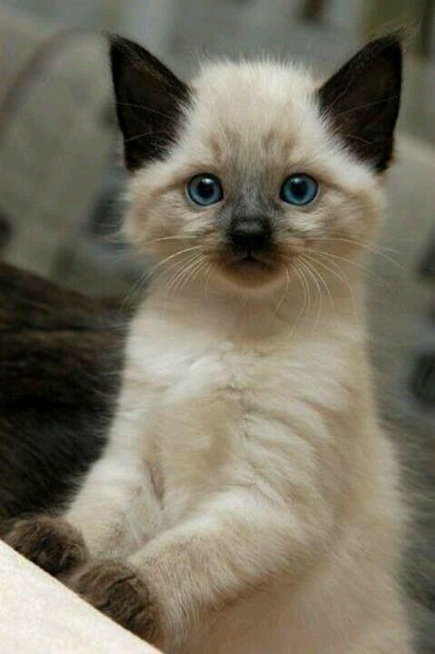 12 Reasons Why You Should Never Own Siamese Cats