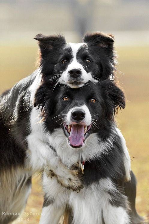 cute collies funny dogs