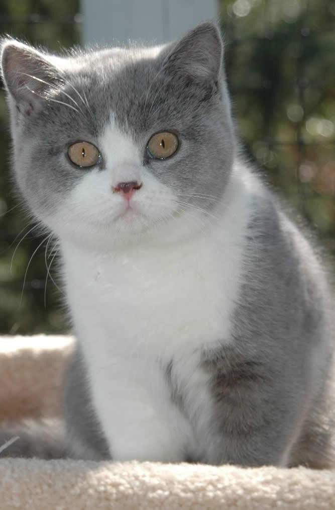 How Much Should A Russian Blue Cat Weight