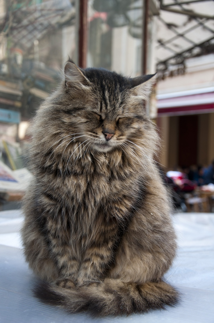 how to start breeding maine coons