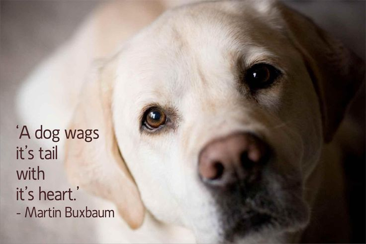 Dog Quotes: 21 Quotes That Will Change The Way You Think About Labradors
