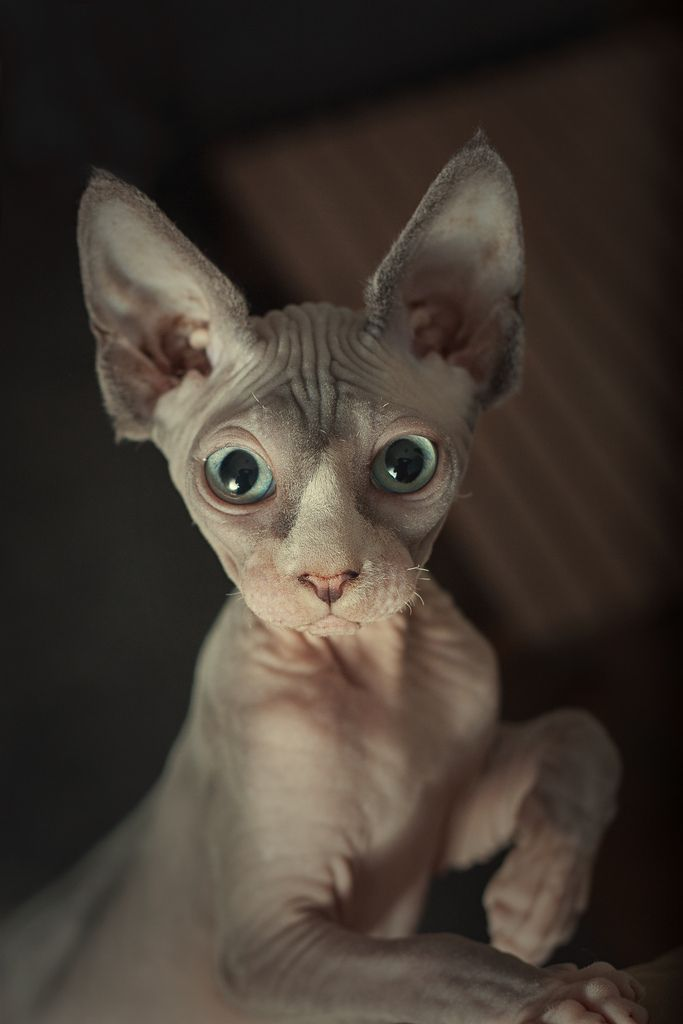 Sphynx Cat Rescue In Il