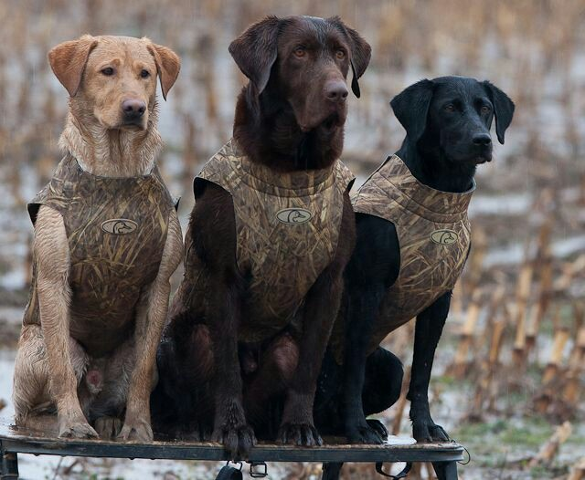 15 Reason Why Labradors Should Be Banned As A Breed