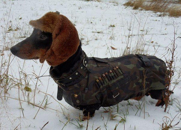 The Dachshund was bred to hunt what type of animal?