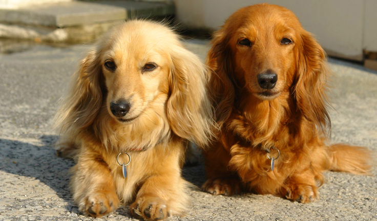 What was named after the Dachshund?