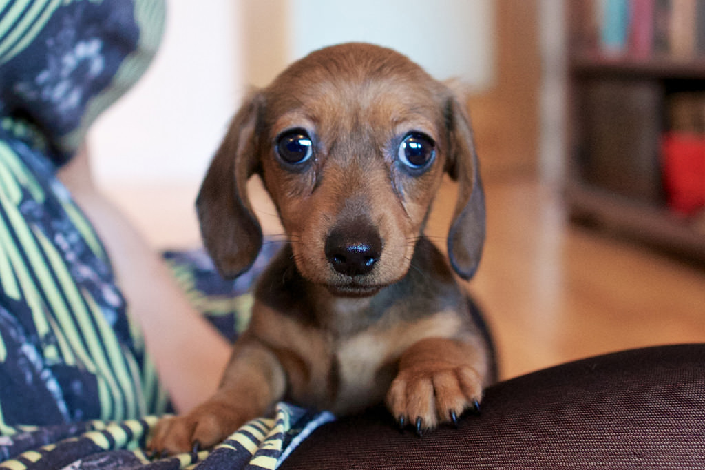 Why were miniature Dachshunds bred?