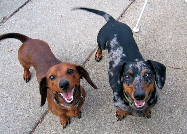Most Dachshunds are stubborn.