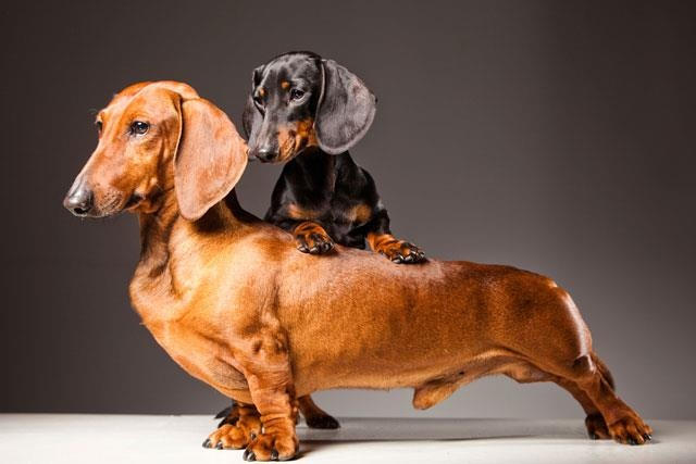 What are the three kinds of coats dachshunds can have?
