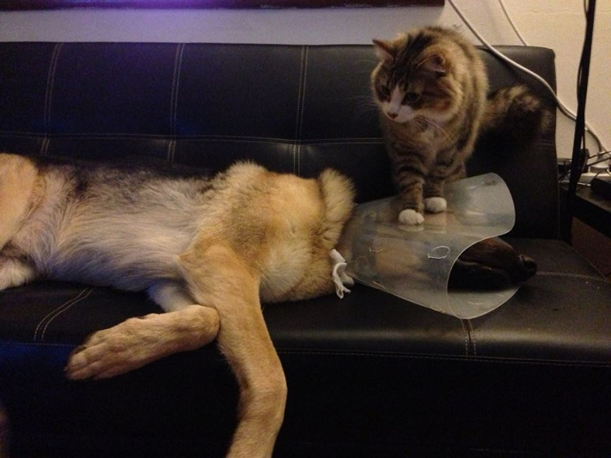 Dog in cone collar and cat