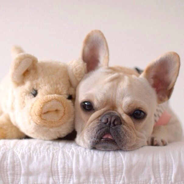 French Bulldog and his Piggy