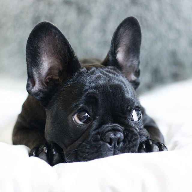 French Bulldog black eyes