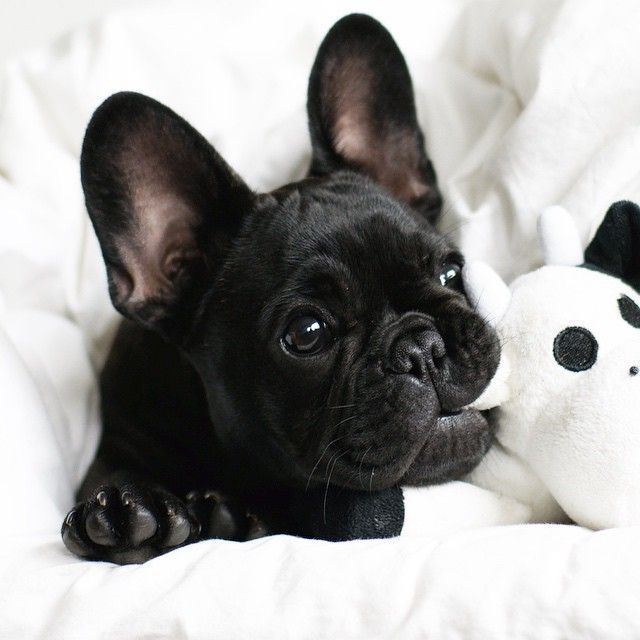 French Bulldog cute toy