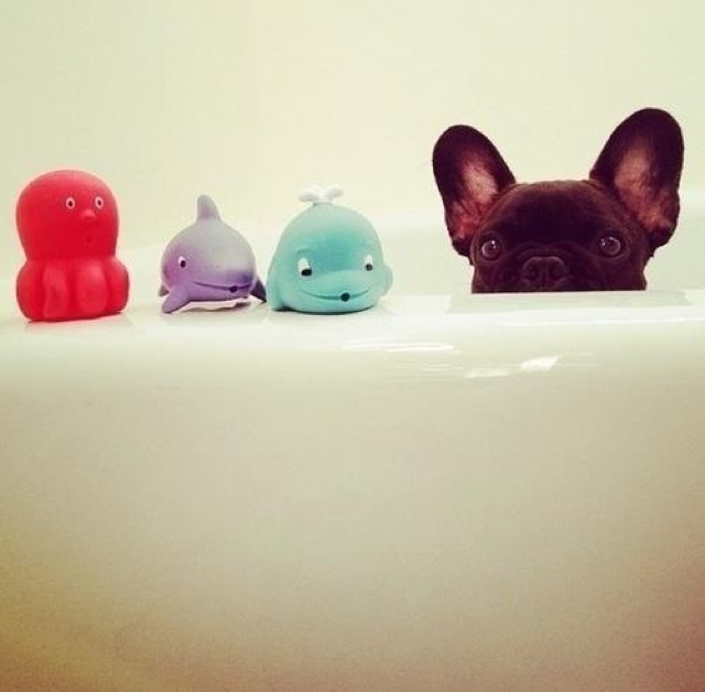 French Bulldog funny pics