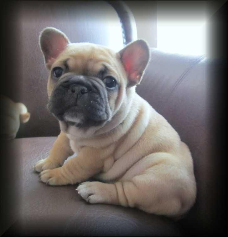 French bulldog puppies - photo#22
