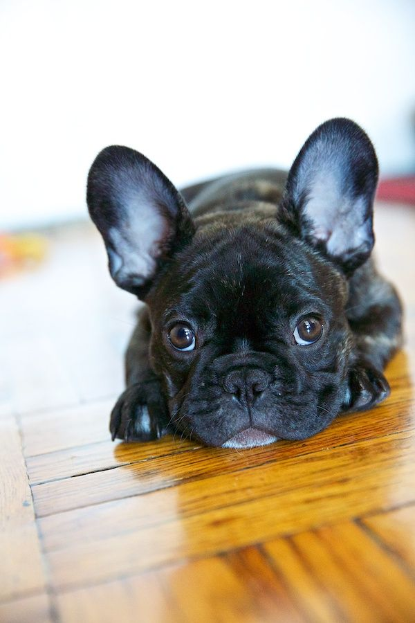 French Bulldog waiting for you