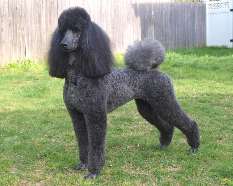 Which of these trims is not a genuine trim used on Standard Poodles?
