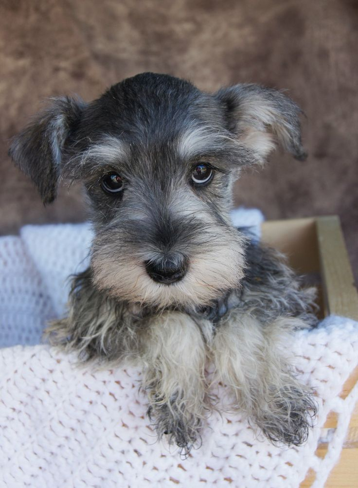Why do Schnauzers have such great mustaches?