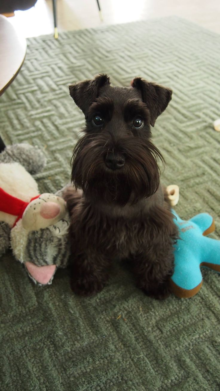 The original name of the Schnauzer was the Wire-Haired Pinscher.