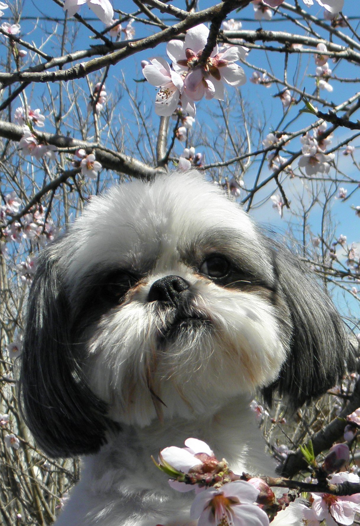 Which of these health problems are Shih Tzu prone to?