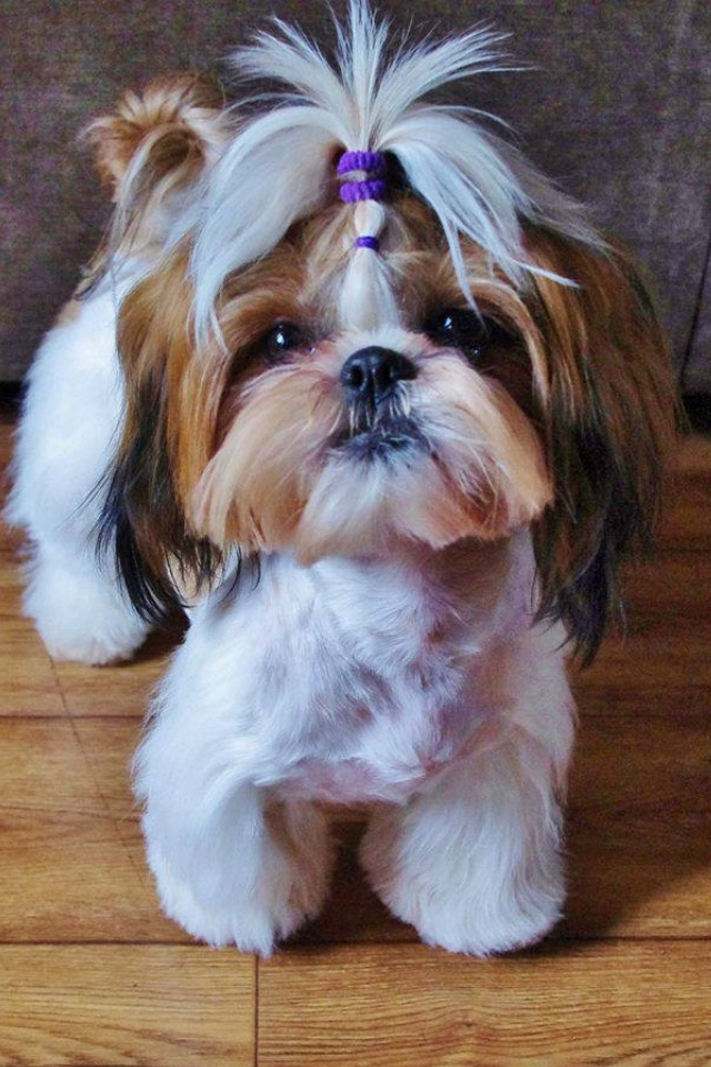 How much does the average Shih Tzu weigh?