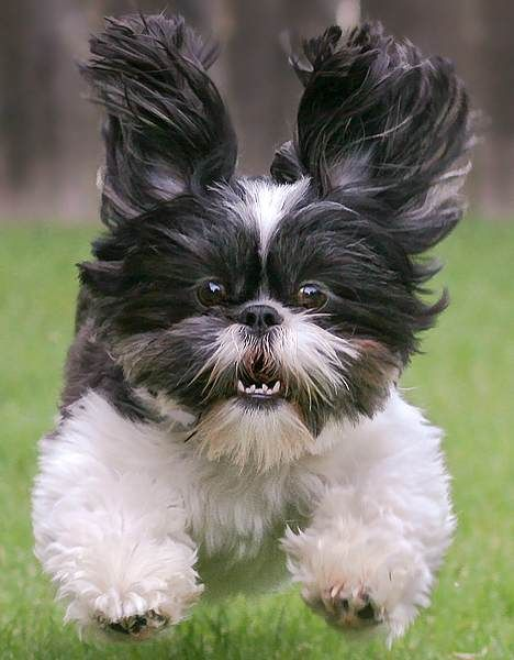 What is the temperament of the Shih Tzu breed (allowing for individual differences)?