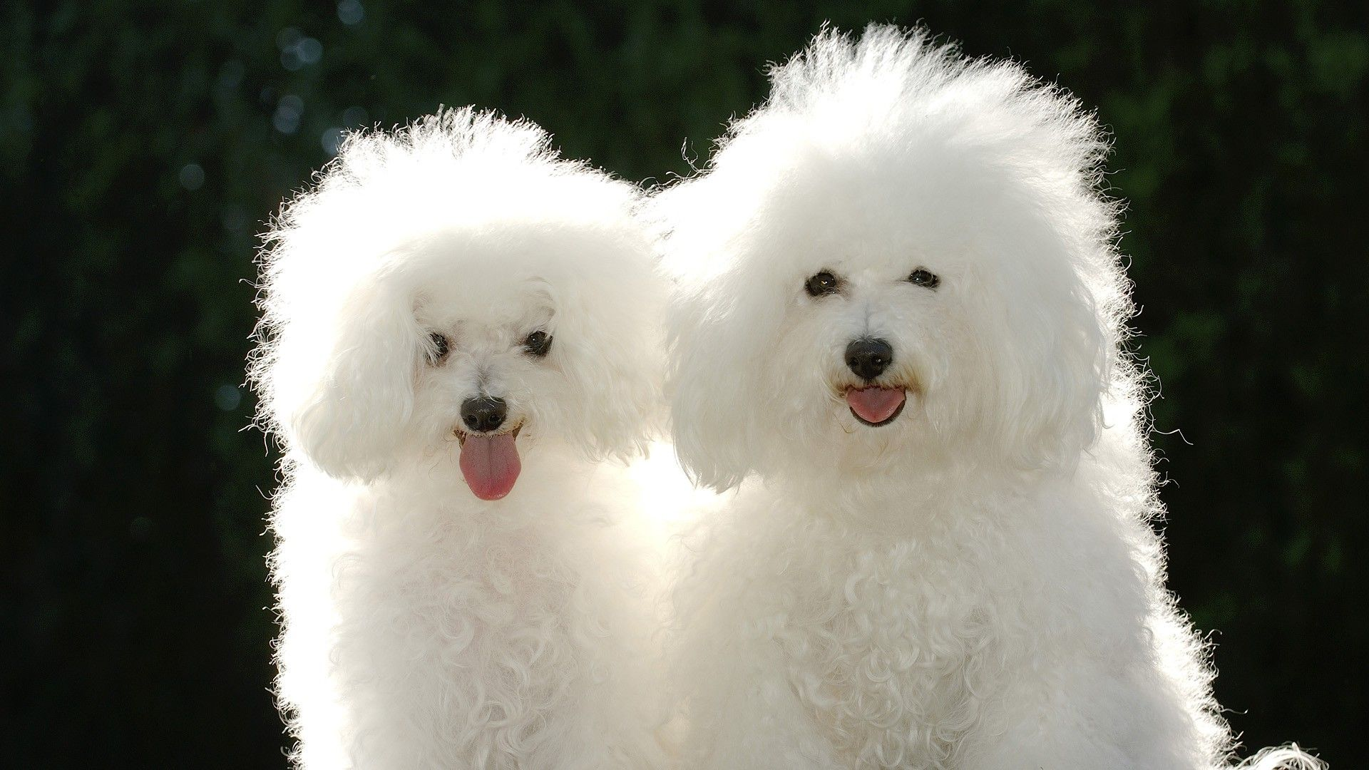 The Poodle is the national dog of which country?