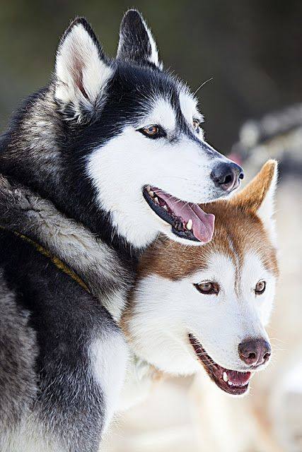 Huskies belong to which group of dogs?
