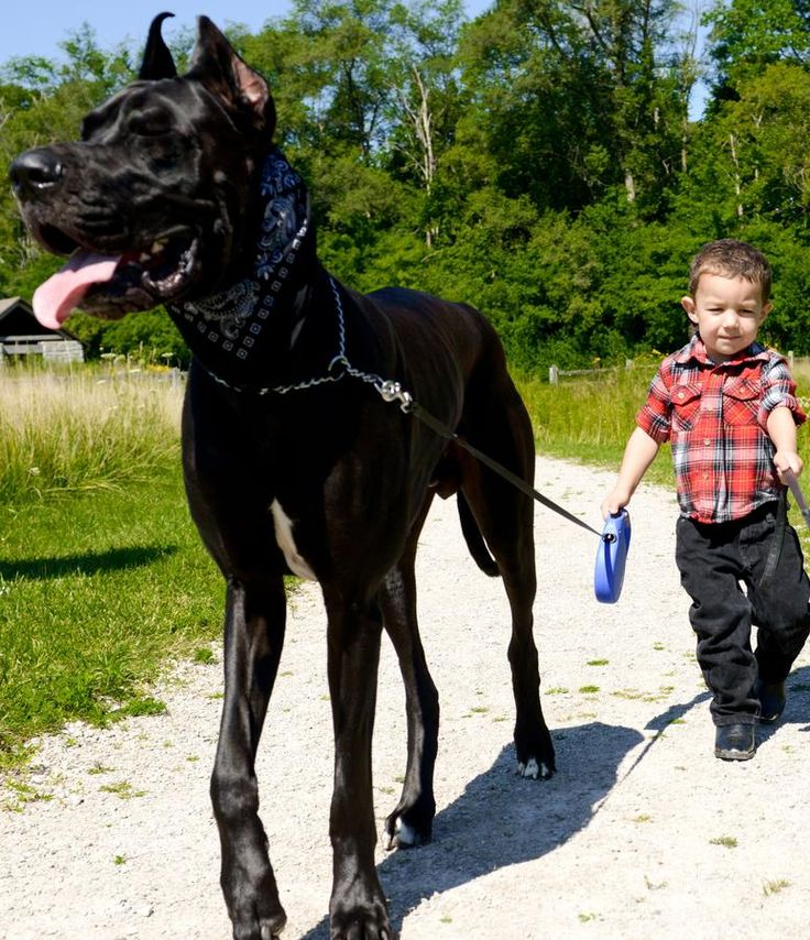 The Great Dane was originally bred for what?