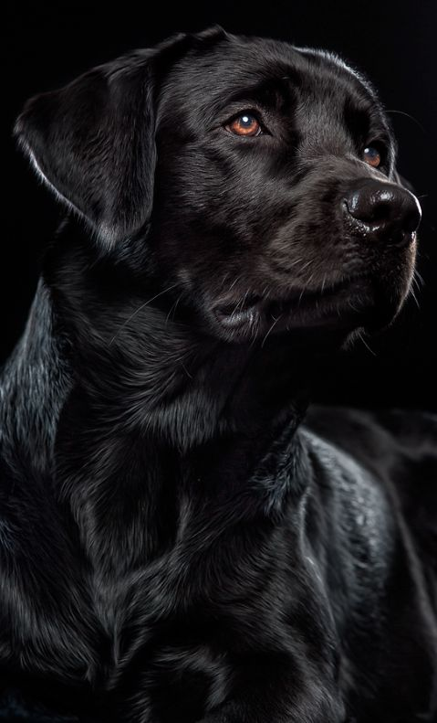 Labrador Retrievers make excellent watchdogs.