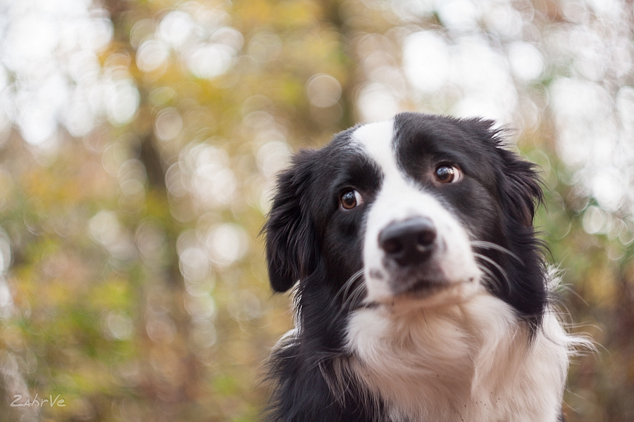 How might you describe the border collie in a few words?