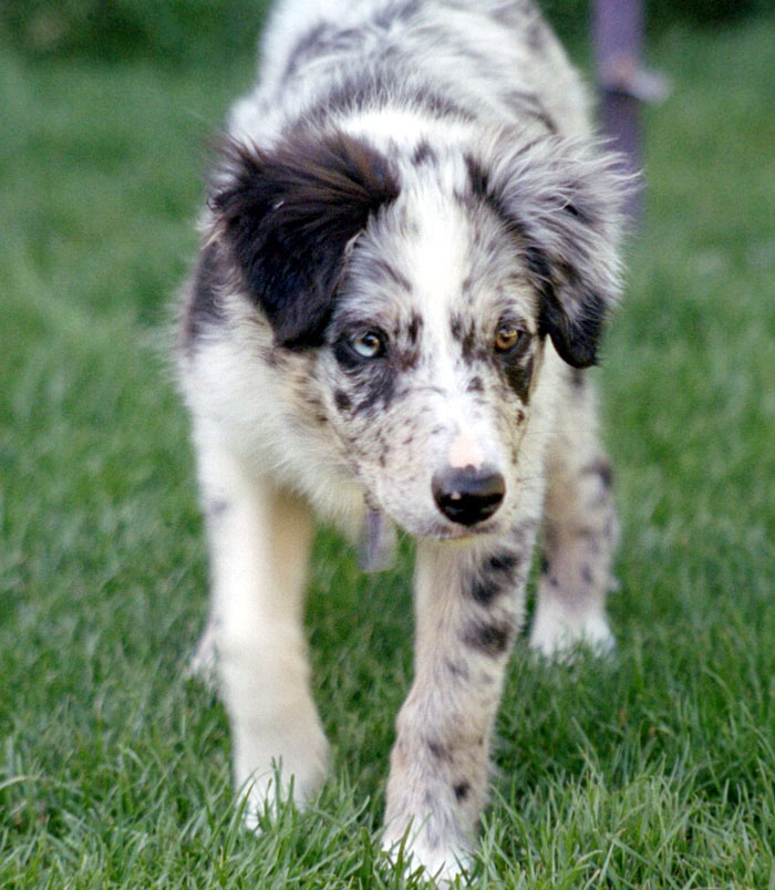 Which of these is the border collie known for while herding?