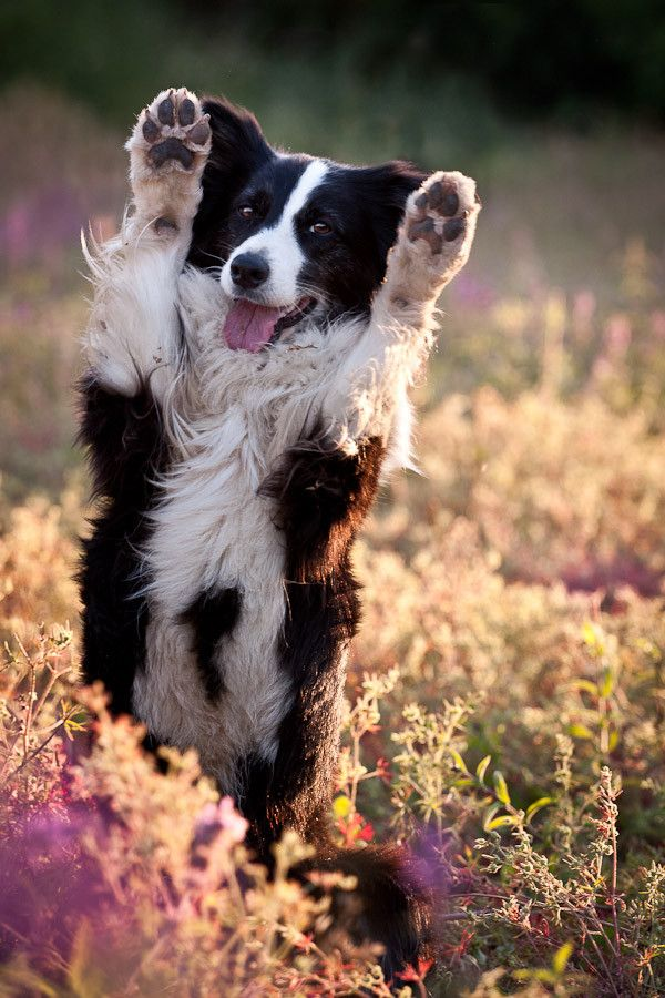Border Collies do very well with cats and other small household pets.