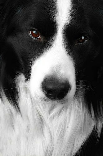 Where was the border collie developed?