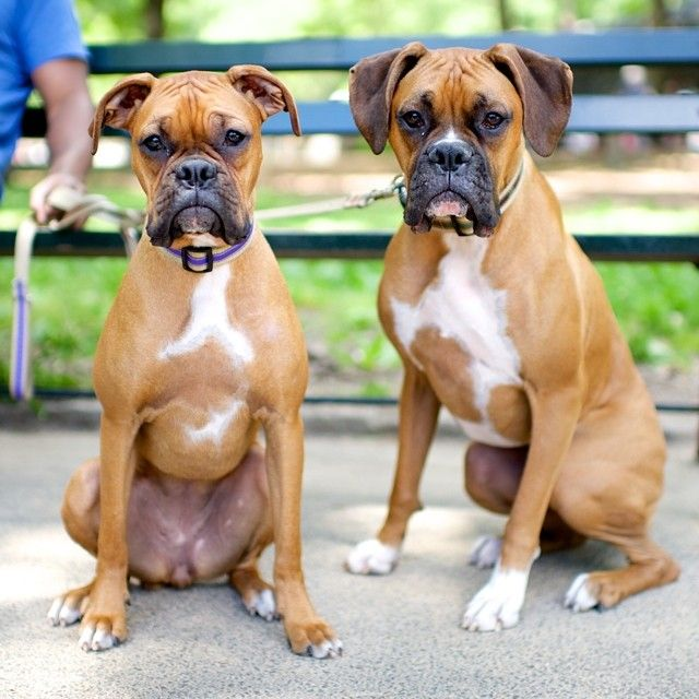 Where do Boxers rank on the American Kennel Club's list of registered dogs as of 2005?