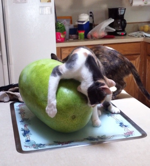 cat and watermelon