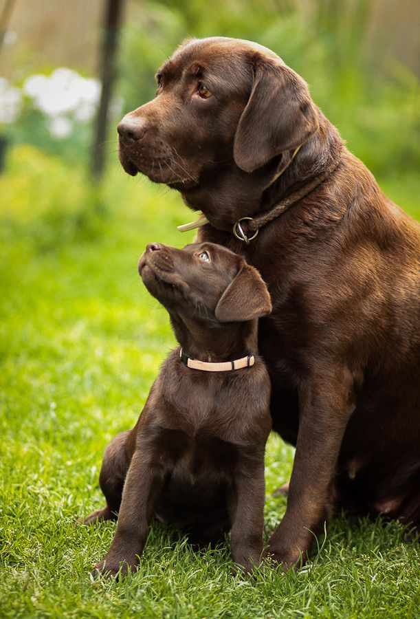 Do Labrador Retrievers talk?
