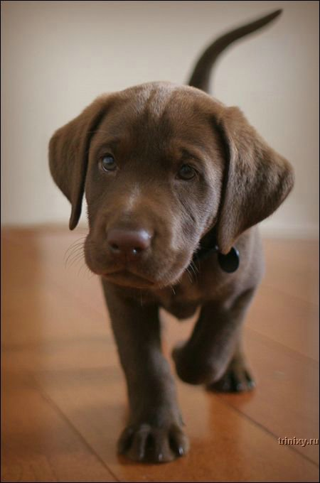 To people who purchase one for a family pet, what is usually regarded as the Labrador retriever's best feature?