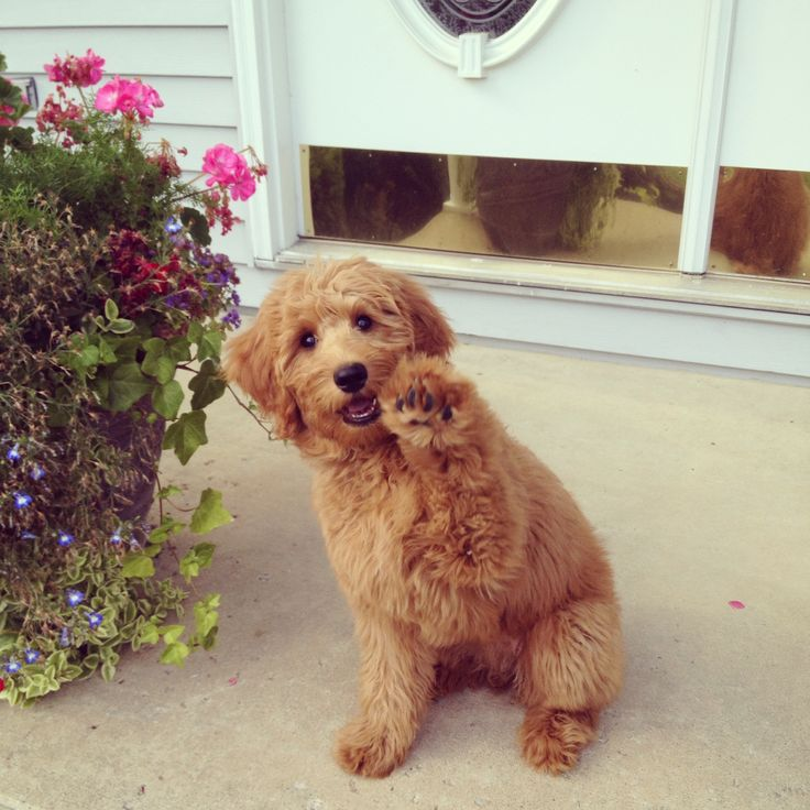 funny goldendoodle