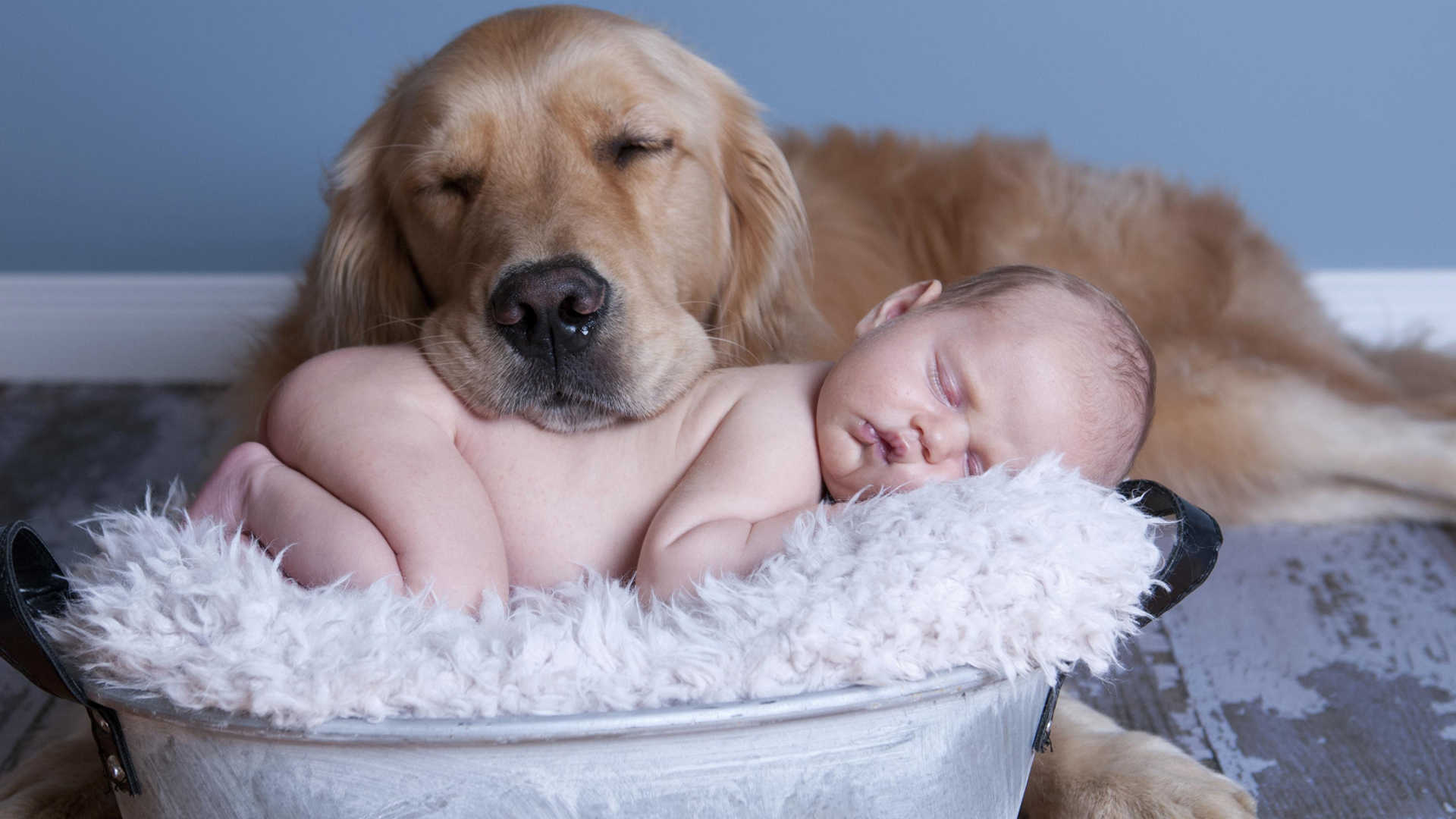 the Golden Retriever as a Golden Retriever And Baby